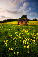 Cowslips surrounding a rustic shack