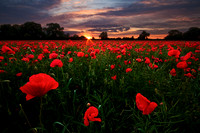 Sunrise over a poppy field