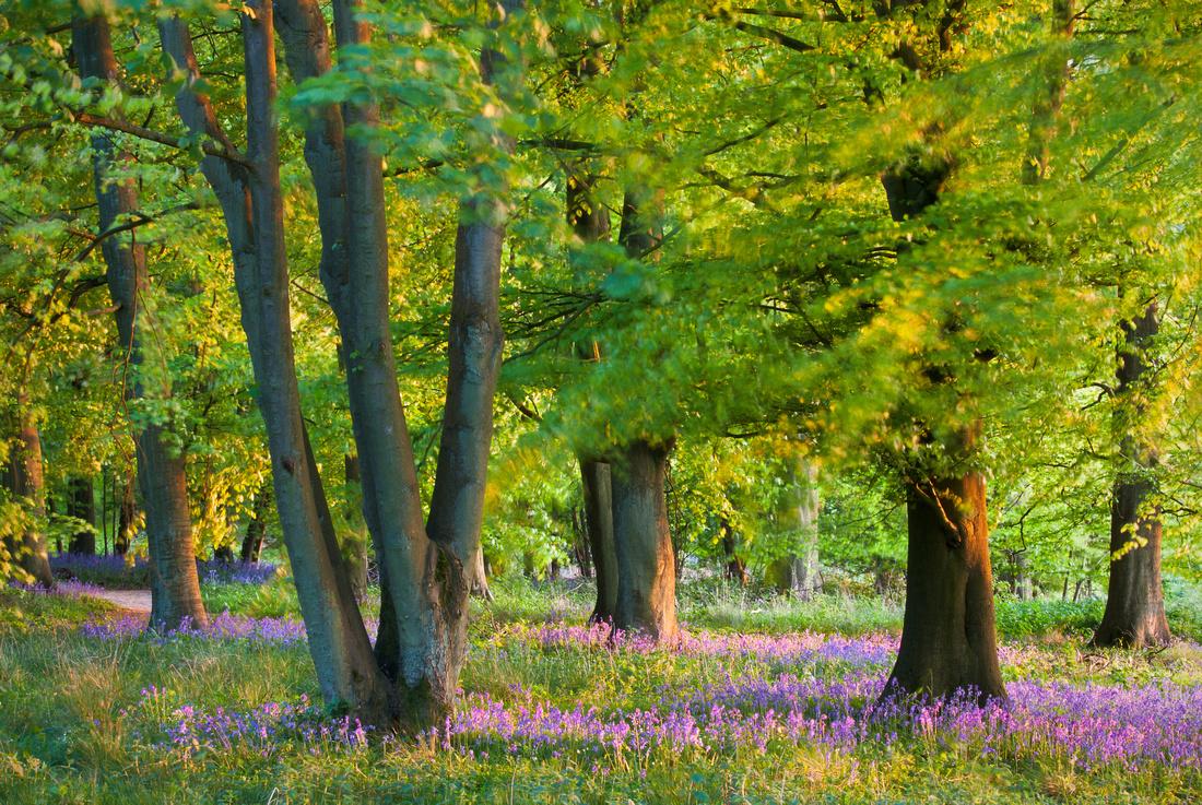 Breeze through a bluebell wood at sunset