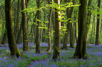 Bluebell wood in the Chilterns, Oxfordshire