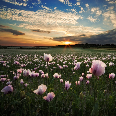 Sunset over a field of opium poppies