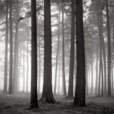 Misty winter woods in Perthshire