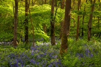 Bluebells at Cowleaze Wood, Oxfordshire